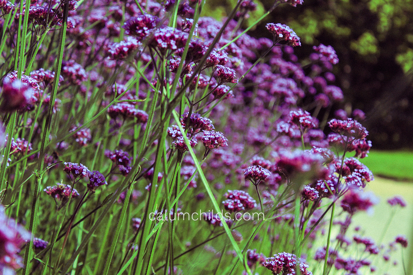 Purple verbenas take up most of the image with their purple flower-heads and green stalks.